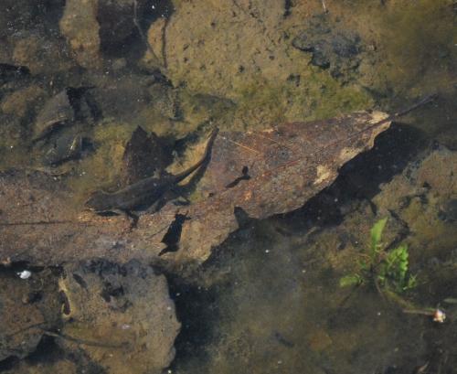 Femelle de triton palmé dans l'eau