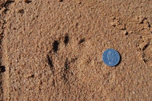Epreinte de loutre / Otter's footprint