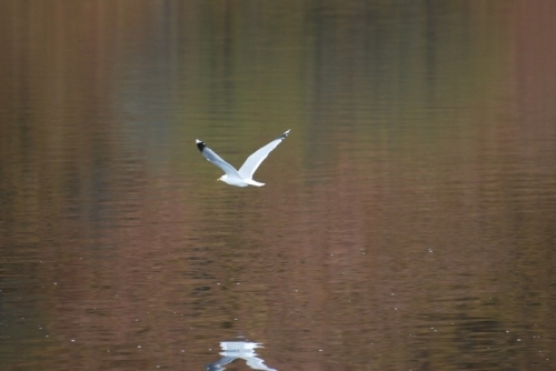 Goéland cendré / Common gull